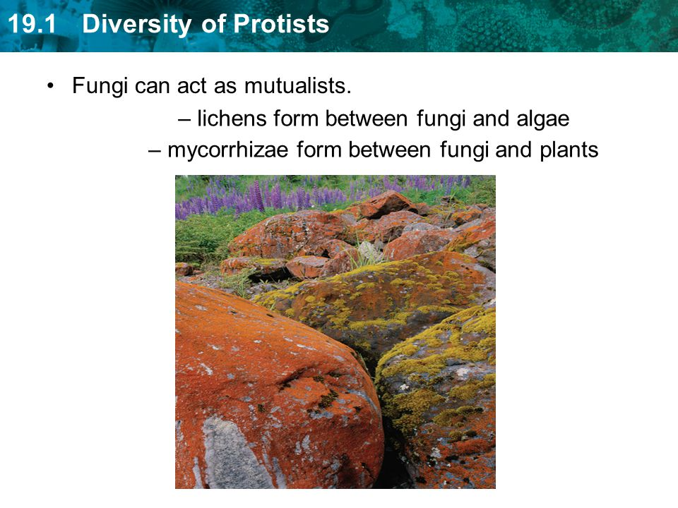 Fungi can act as mutualists. lichens form between fungi and algae