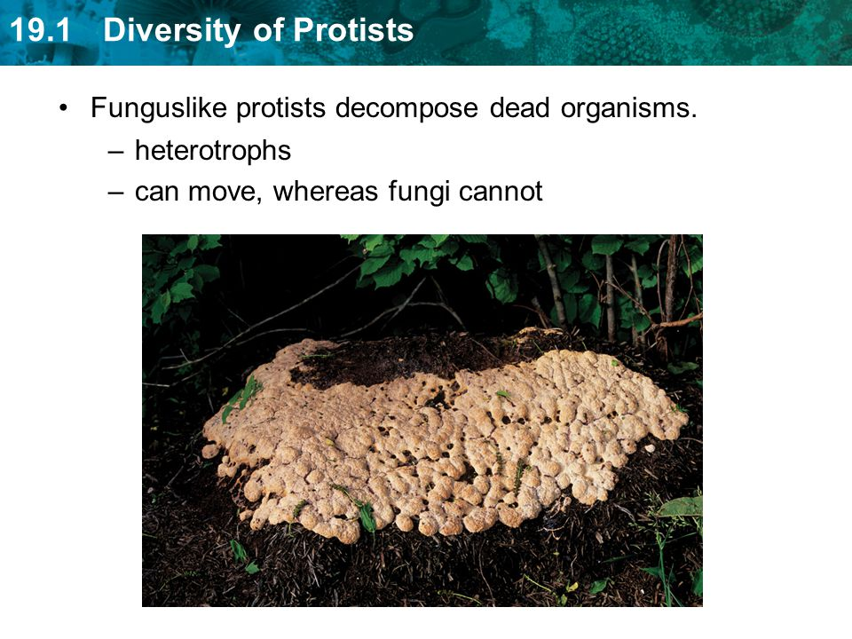 Funguslike protists decompose dead organisms.