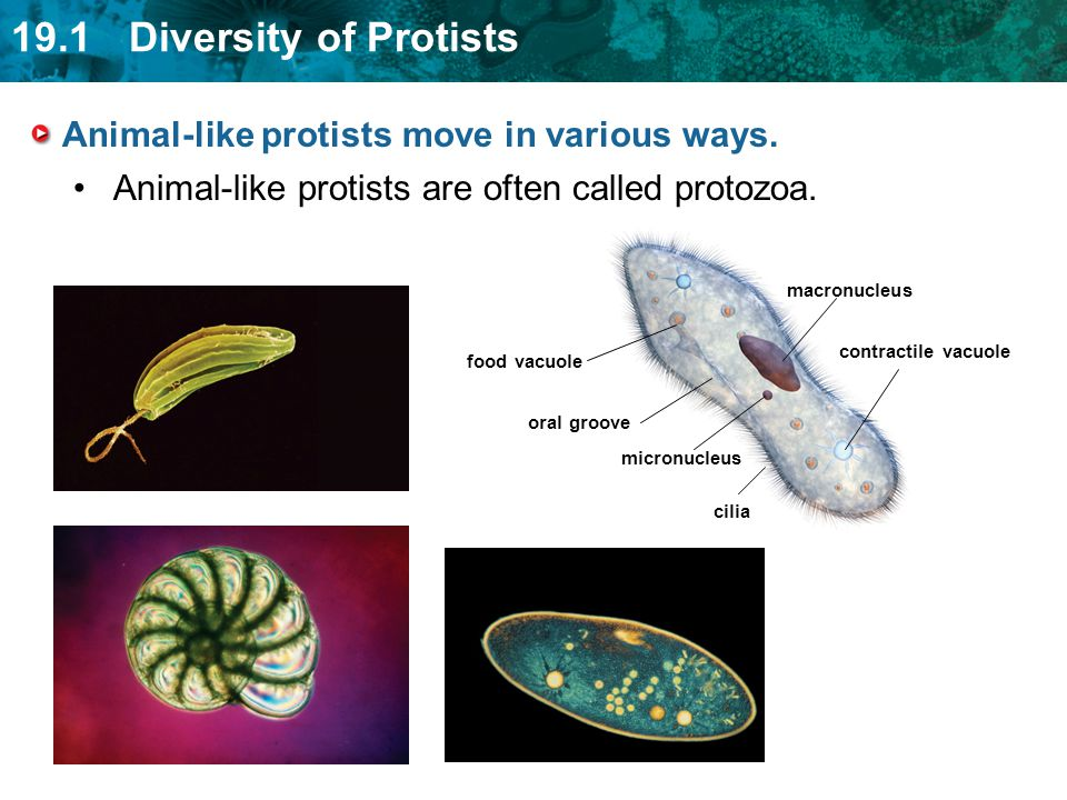Animal-like protists move in various ways.
