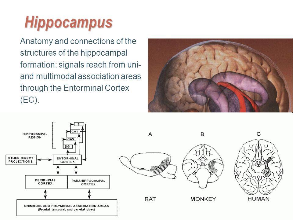 Hippocampal Formation Anatomy