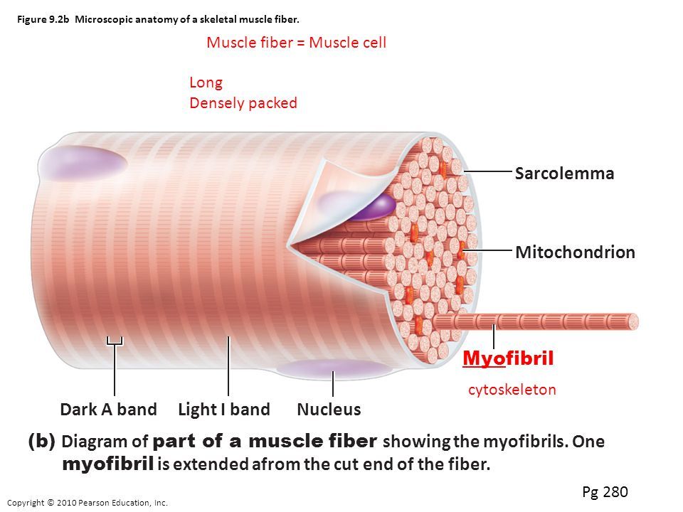 Muscle Fibre Anatomy Images - human body anatomy