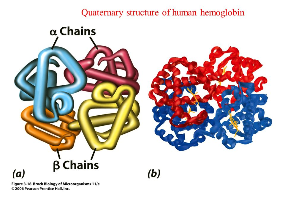 differences in the hemoglobin of humans Which of the following is true about the alleles for hemoglobin in humans a) differences in the dna sequences of alleles a and s account for the difference in the hemoglobin molecules produced.