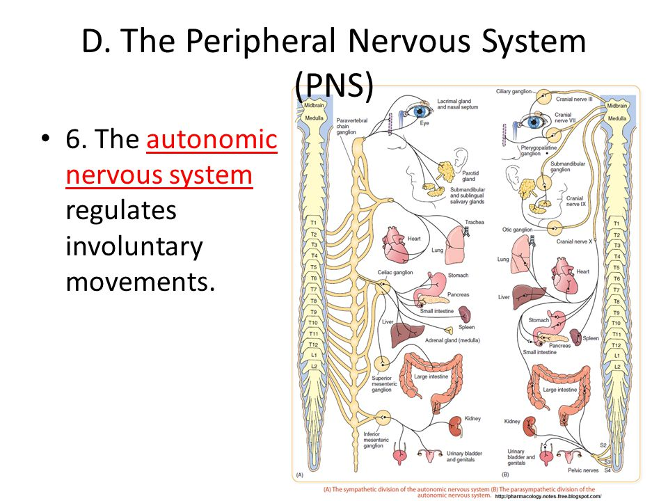 D. The Peripheral Nervous System (PNS)