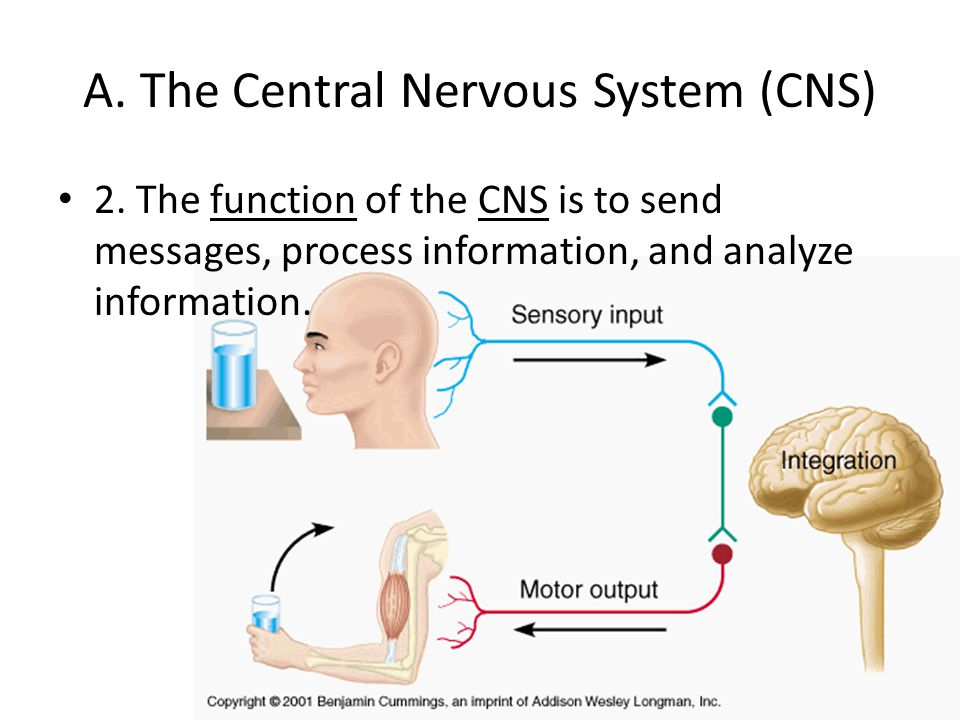 A. The Central Nervous System (CNS)