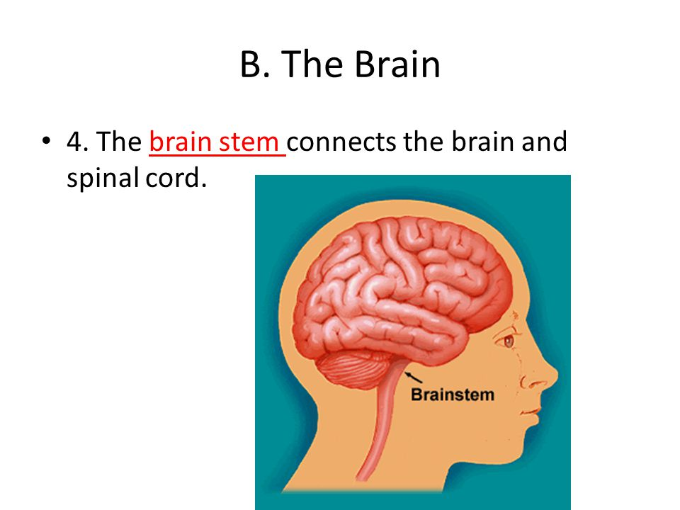 B. The Brain 4. The brain stem connects the brain and spinal cord.