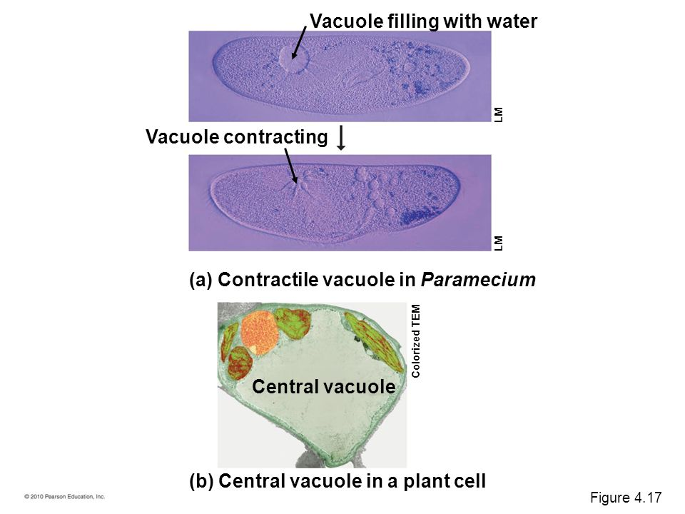 Chapter 4 A Tour of the Cell. - ppt download Contractile Vacuole In A Cell