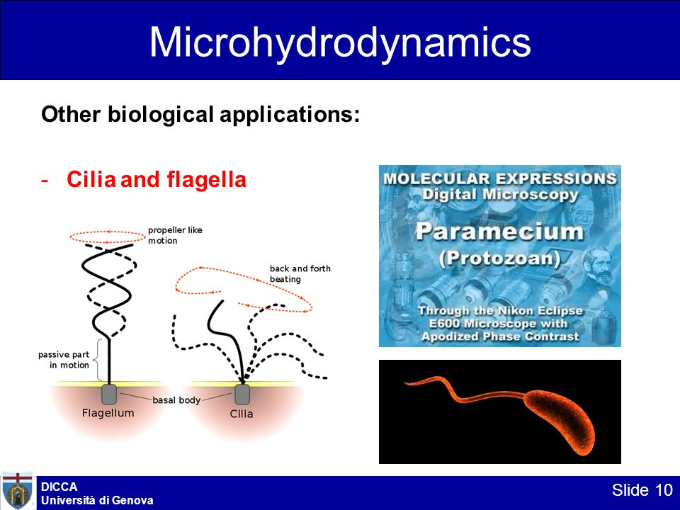 Microhydrodynamics Other biological applications: Cilia and flagella