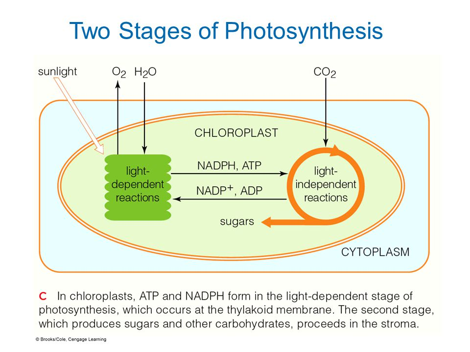 Stages Of Photosynthesis Essay Sample   Words   Stages Of Photosynthesis