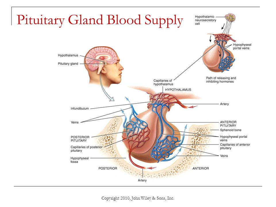 1918303 moreover Stock Image Hypothalamus Pituitary Gland Connected To Via Stalk Infundibulum Consists Two Lobes Anterior Image40242341 together with Crayfish Paranephrops Planifrons furthermore Stock Photo Hypothalamus Pituitary Gland And Their Hormones in addition 178. on endocrine system pituitary gland