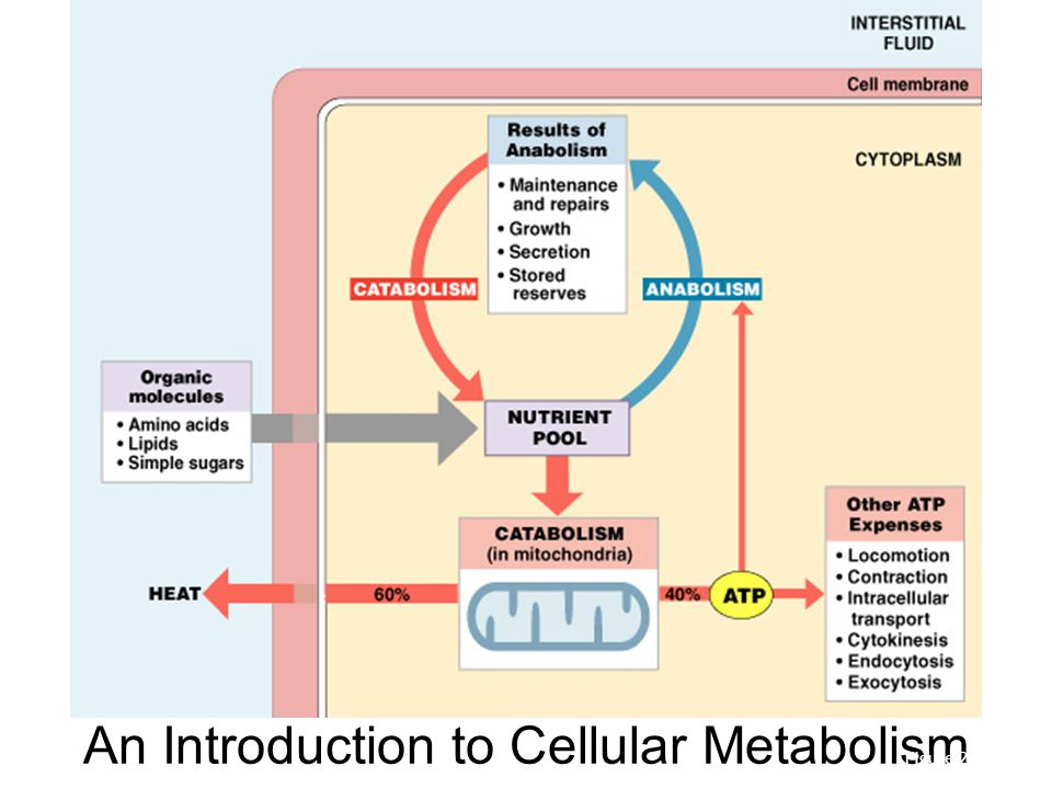 metabolism cellular respiration and new world encyclopedia essay Reproduction: reproduction, process by which organisms replicate themselves in a general sense reproduction is one of the most important concepts in biology: it means making a copy, a likeness, and thereby providing for the continued existence of species.