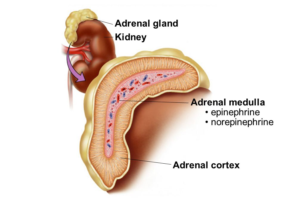 List of Synonyms and Antonyms of the Word: medulla adrenal