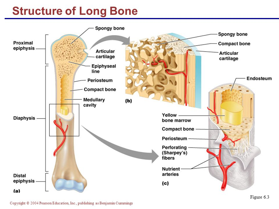 Structure Of Long Bone Figure