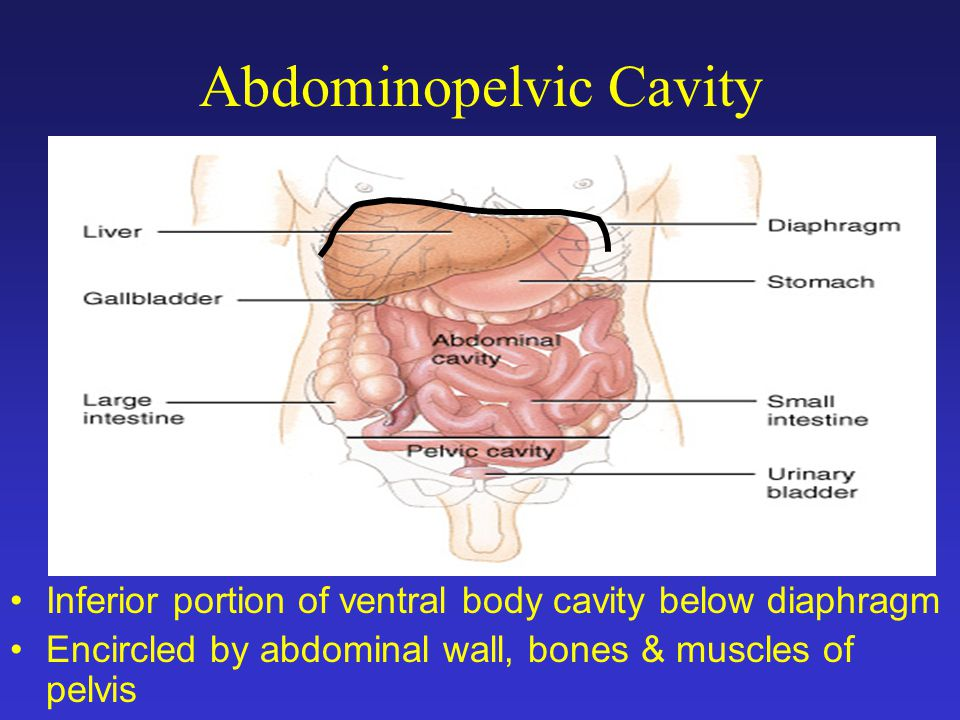 Abdominopelvic cavity diagrams also Systemic Arteries additionally Bio 202 Arteries And Veins Key in addition 10404800 also Chartdiagram. on all body cavities anatomy physiology
