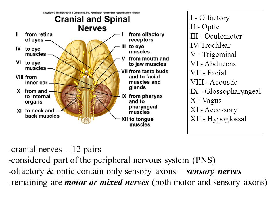 how to remember the 12 pairs of cranial nerves