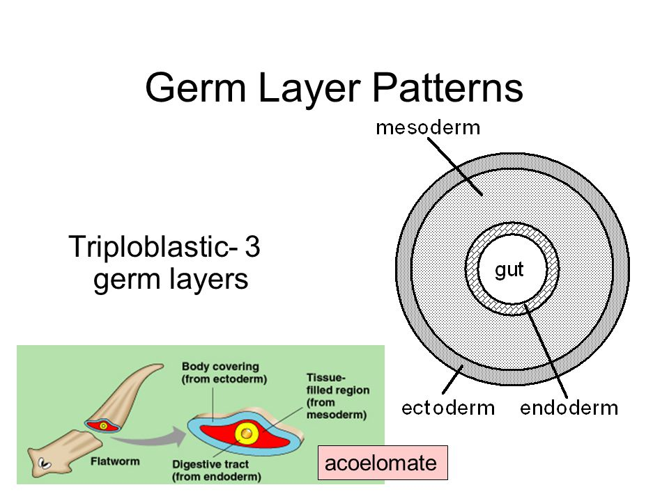 Germ Layer Patterns Triploblastic- 3 germ layers acoelomate