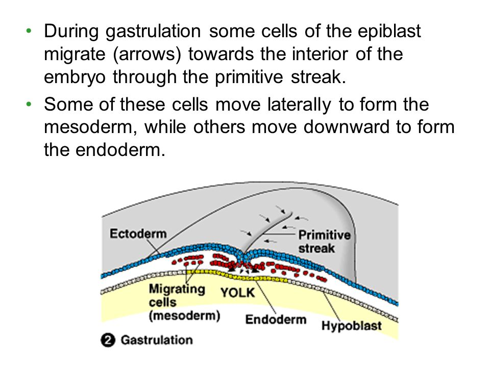 During gastrulation some cells of the epiblast migrate (arrows) towards the interior of the embryo through the primitive streak.