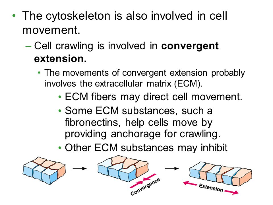 The cytoskeleton is also involved in cell movement.