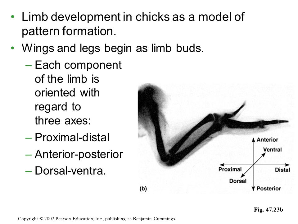Limb development in chicks as a model of pattern formation.