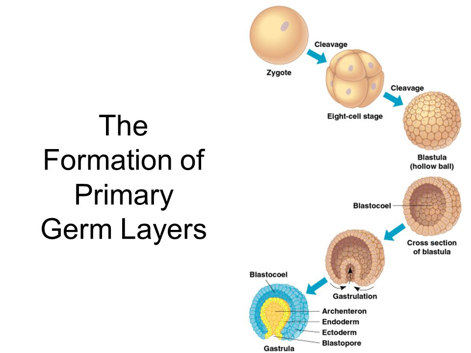 The Formation of Primary Germ Layers
