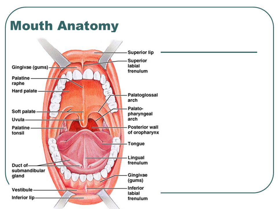 Mouth Anatomy Frenulum Gallery - human body anatomy