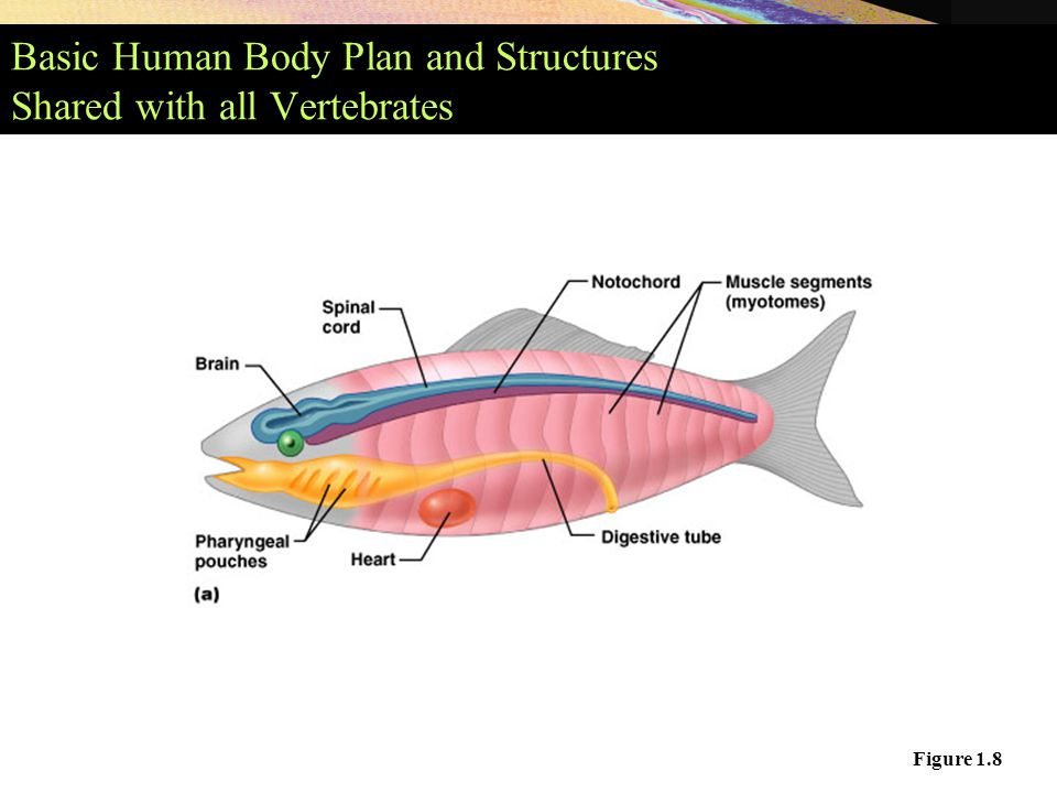 the human body plan study of Modern biology study guide answer key section 45-1  interprets sensory information, causes the body to move in response to sensory  the human spine gliding .