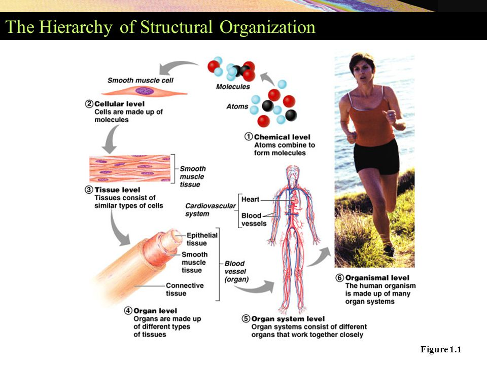 An Overview of Anatomy Anatomy – the study of the structure of the ...