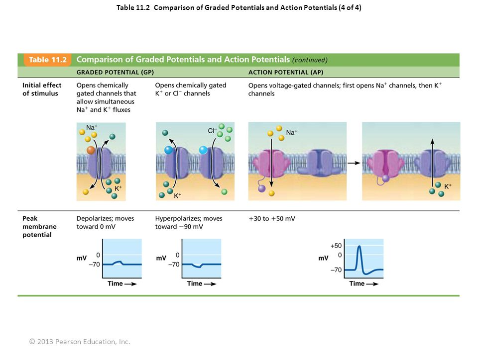 comparison graded potentials to action An action potential or nerve impulse is the depolarization and repolarization of a membrane potential a binary switching used to convey information from neuron to neuron generated voltage changes brought on by the opening of voltage-gated na + channels, it originates in the axon's initial segment, and then travels down the length of the axon through a sequence of voltage-gated channels.
