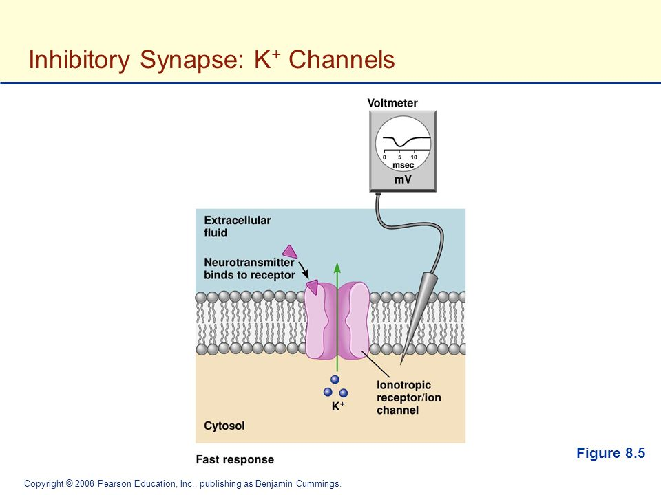 Inhibitory Synapse: K+ Channels