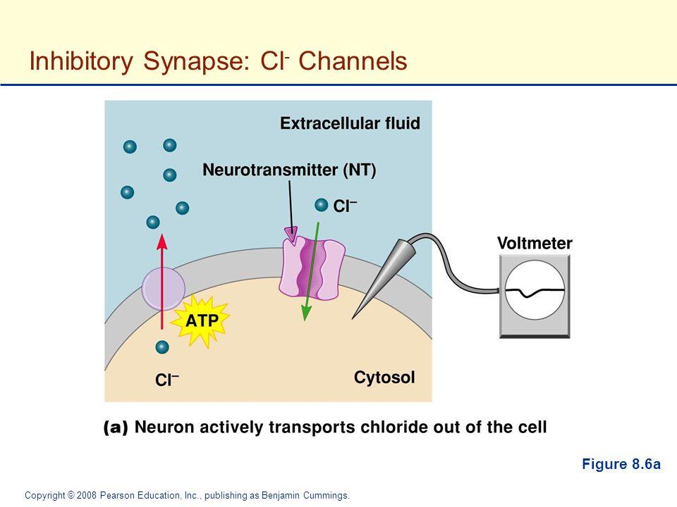 Inhibitory Synapse: Cl- Channels
