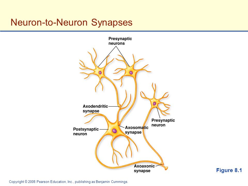 Neuron-to-Neuron Synapses