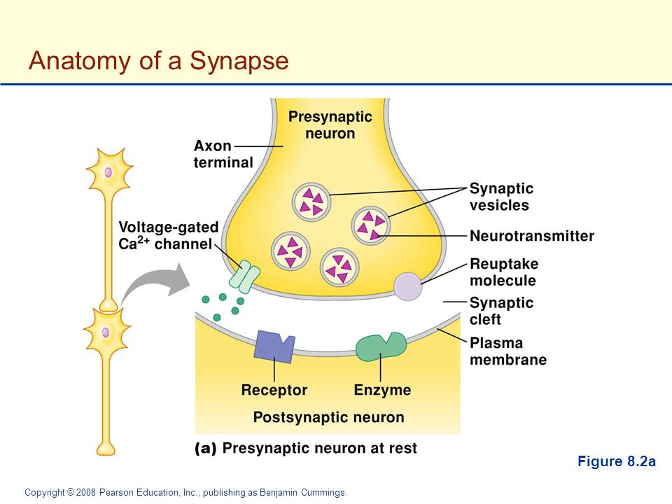 Anatomy of a Synapse Figure 8.2a