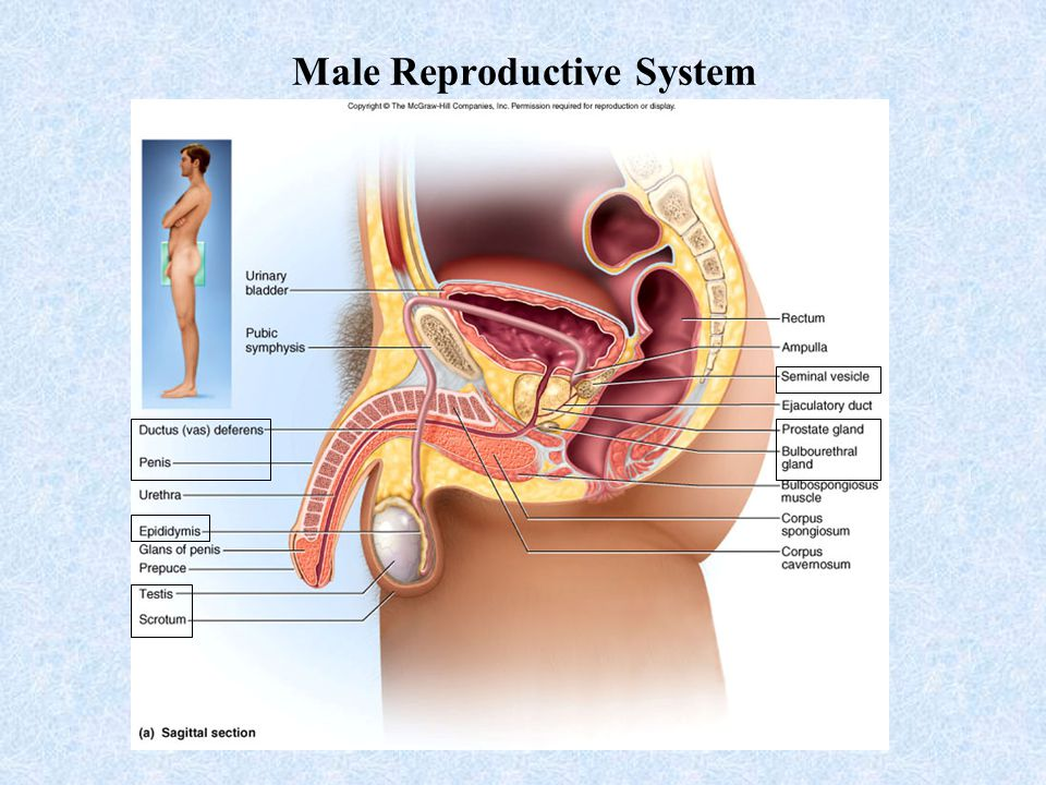 male reproductive system Reproductive system male testis epididymis female ovary oviduct uterus respiratory system trachea lungs lungs (removed) lung cross section.