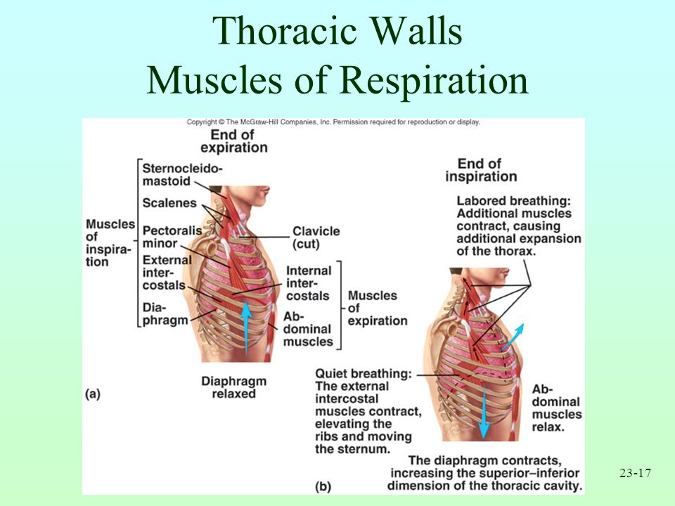 Thoracic Walls Muscles of Respiration