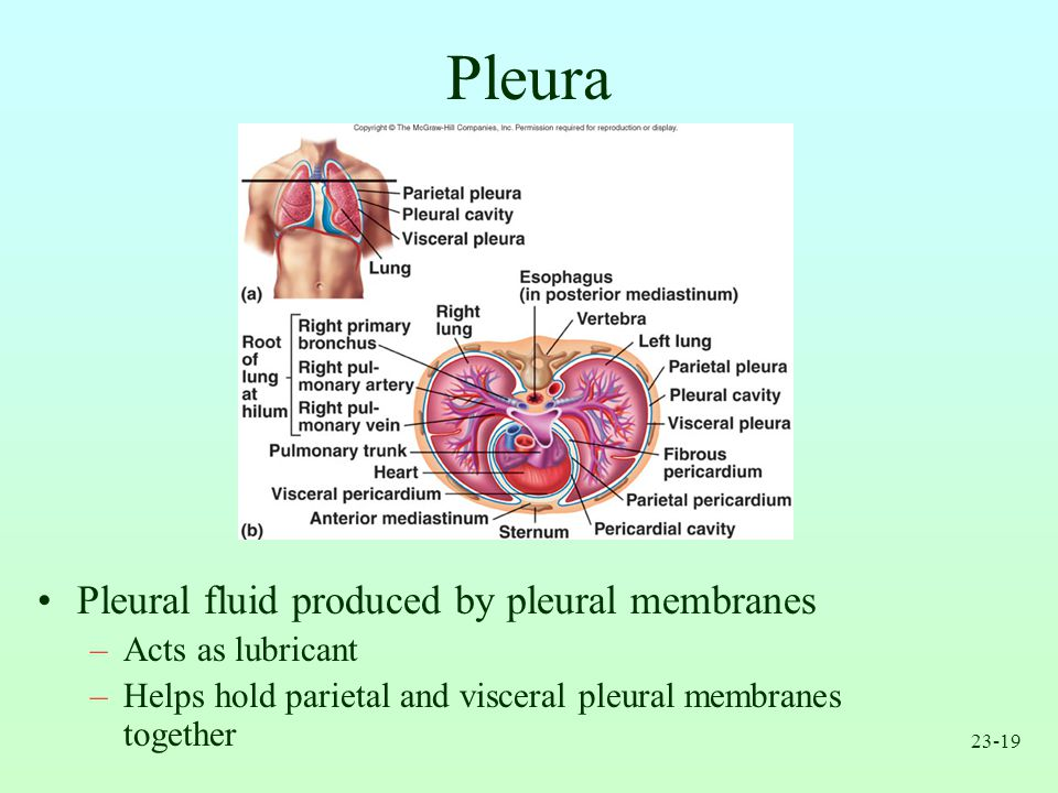 Pleura Pleural fluid produced by pleural membranes Acts as lubricant
