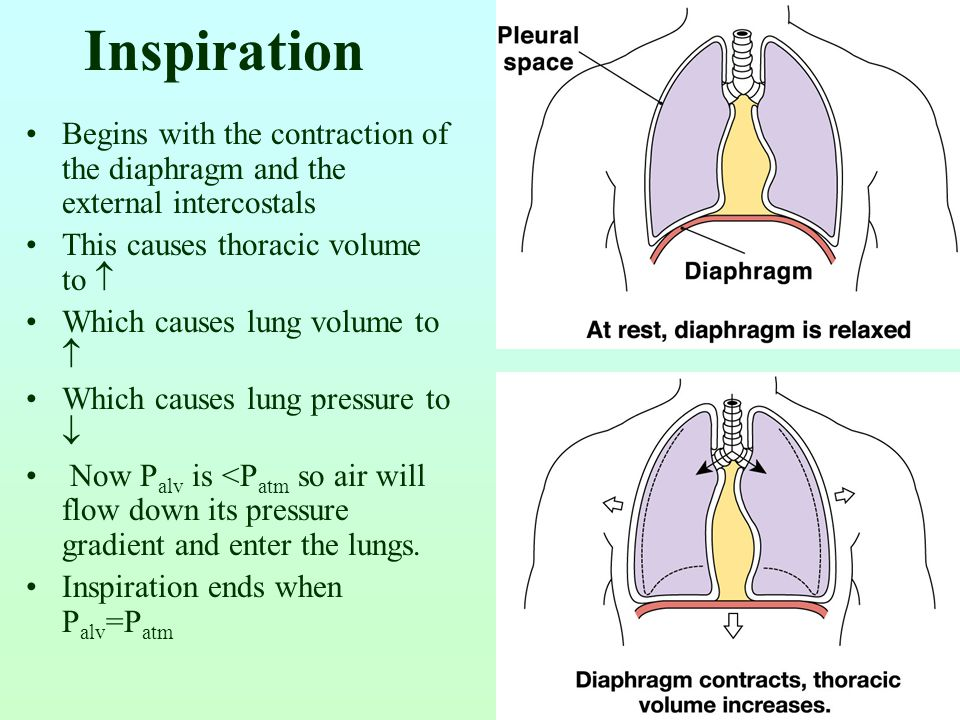 Inspiration Begins with the contraction of the diaphragm and the external intercostals. This causes thoracic volume to 
