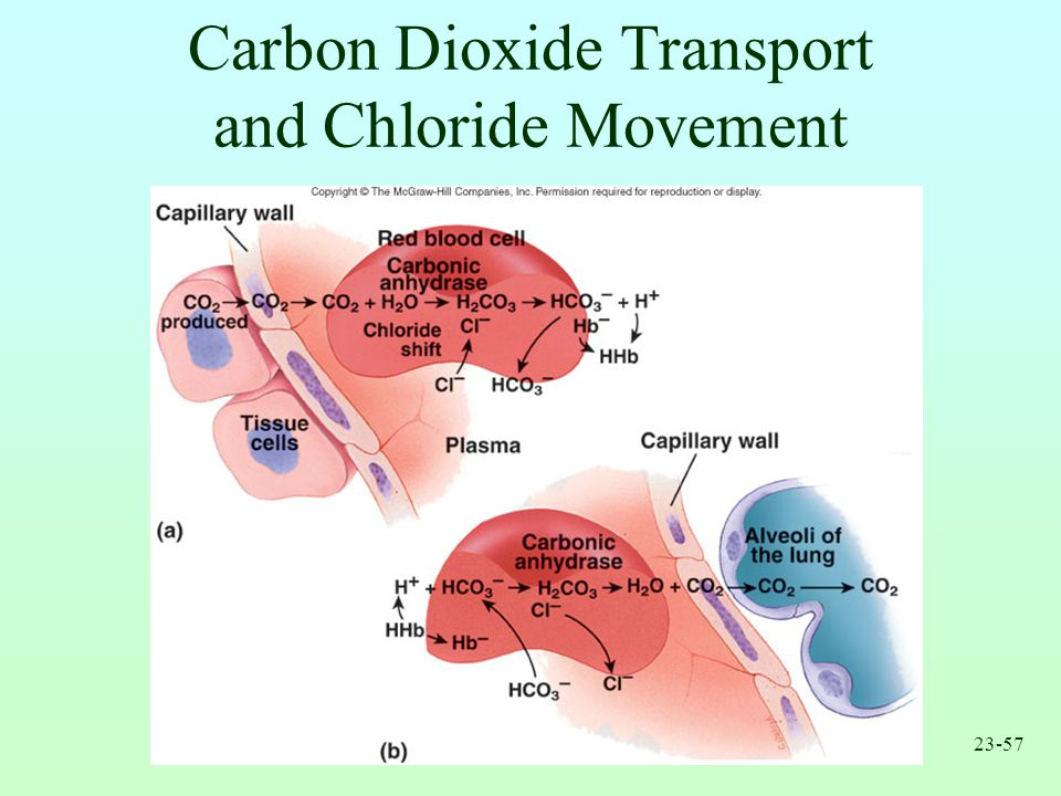Carbon Dioxide Transport and Chloride Movement