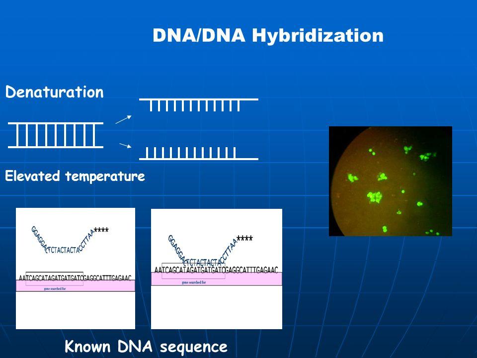 DNA/DNA Hybridization