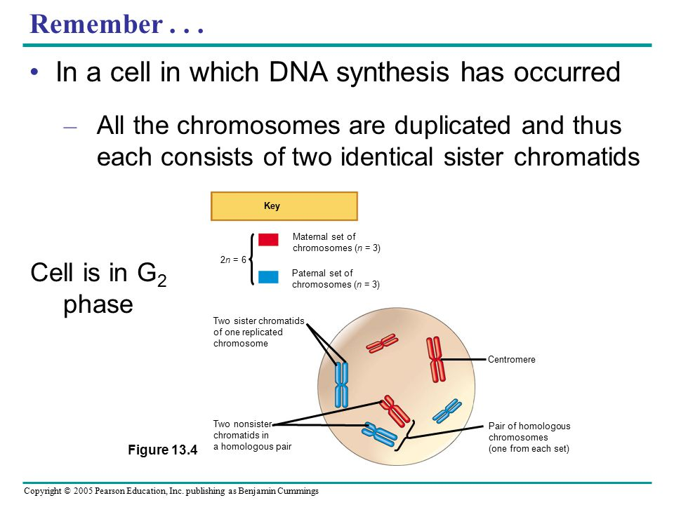 In a cell in which DNA synthesis has occurred