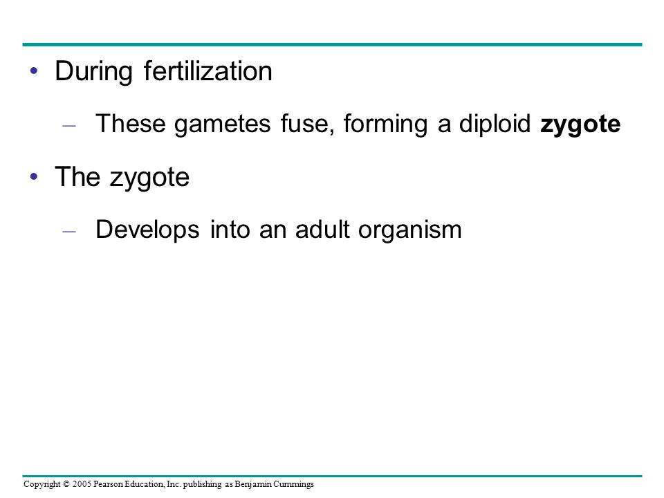 During fertilization The zygote