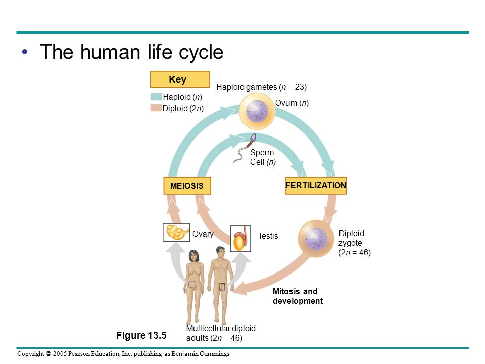 The human life cycle Key Figure 13.5 Haploid gametes (n = 23)