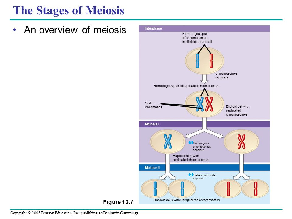 The Stages of Meiosis An overview of meiosis Figure 13.7 Interphase