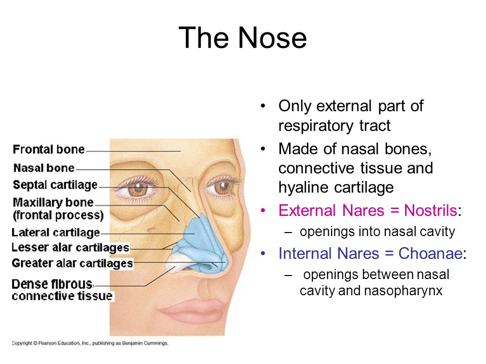 List of Synonyms and Antonyms of the Word: nares nose