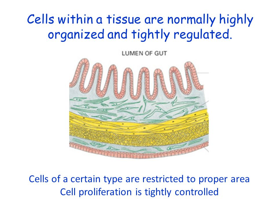 Cells within a tissue are normally highly organized and tightly regulated.