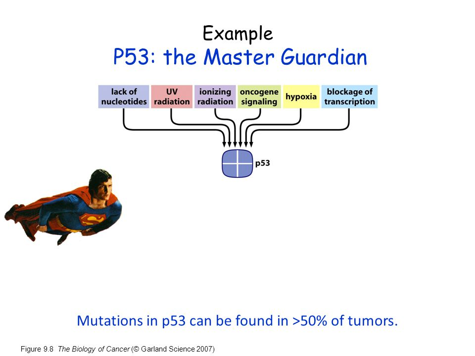 Mutations in p53 can be found in >50% of tumors.
