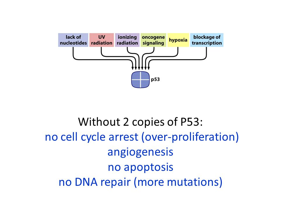 no cell cycle arrest (over-proliferation) angiogenesis no apoptosis