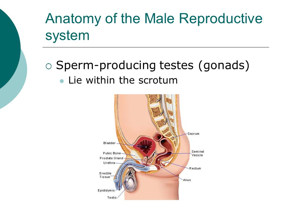 the testes produce the male sex hormone