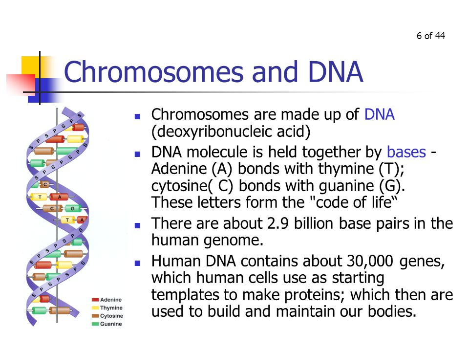Chromosomes In which we examine mitosis and meiosis, as ...
