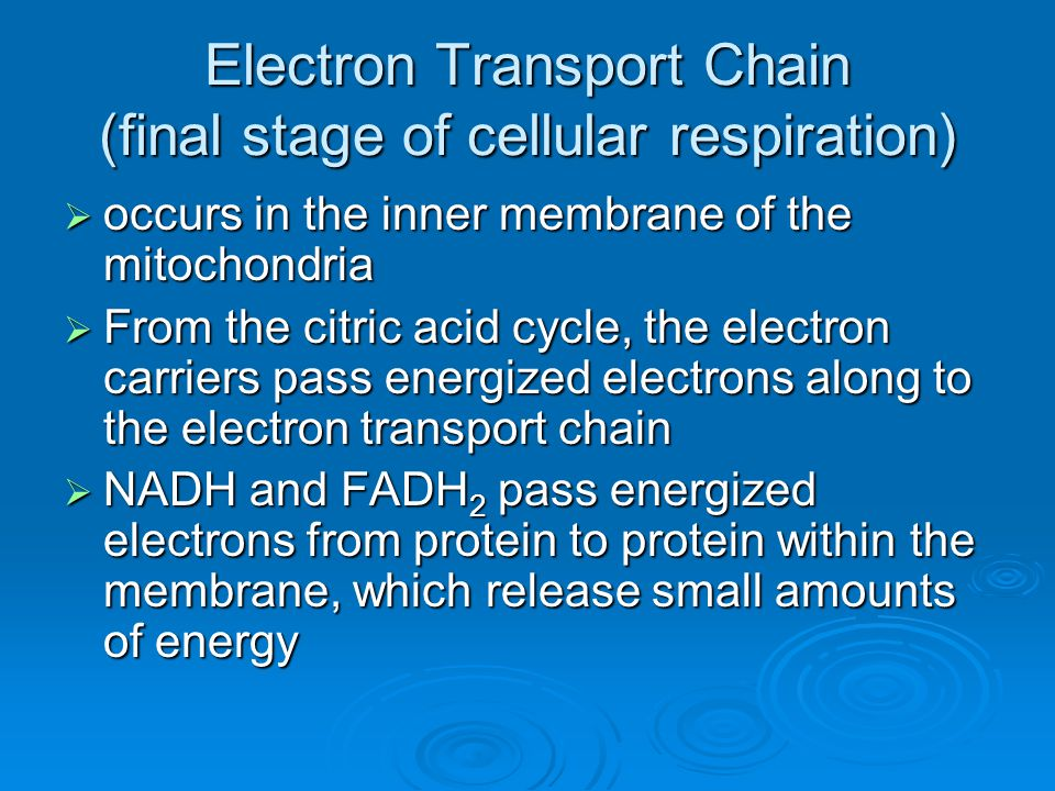 Electron Transport Chain (final stage of cellular respiration)