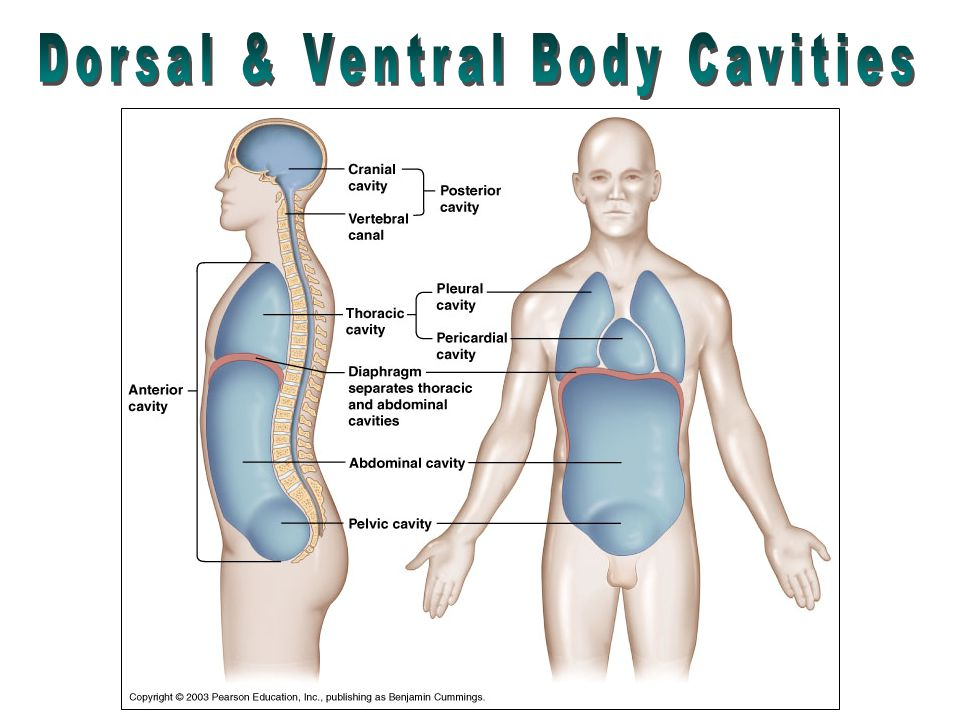 6509453 moreover 5376881 together with 6068077 further Aorta together with 14944086. on posterior dorsal body cavity