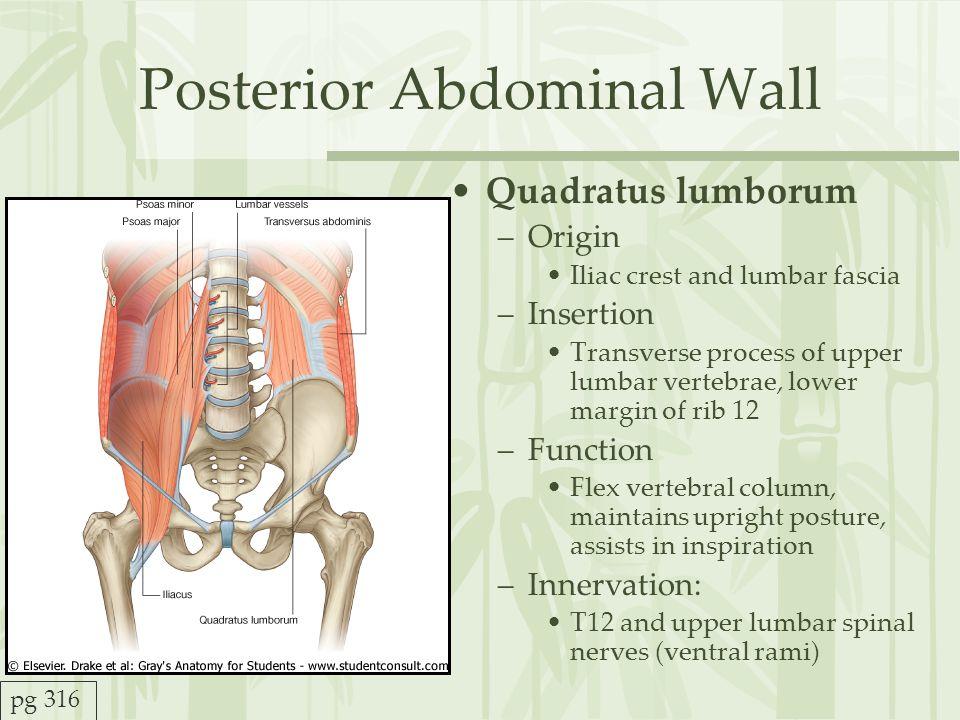 Posterior Abdominal Wall Anatomy Traffic Club